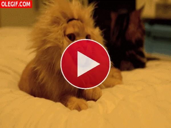 GIF: El rugido de un pequeño león gatuno