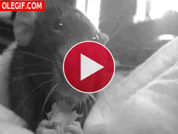Mira cómo come esta rata