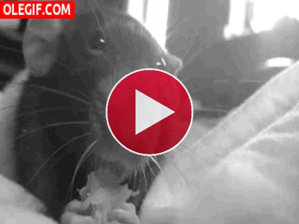 GIF: Mira cómo come esta rata