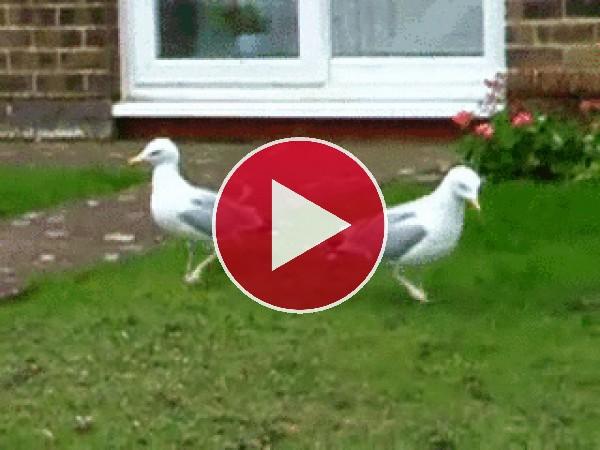 El divertido baile de las gaviotas