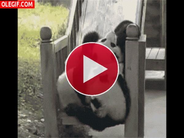 Estos pandas se lo pasan pipa en el tobogán