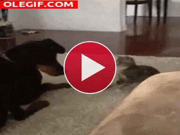 GIF: Esta gato quiere pelea