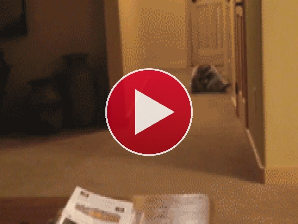 Un mapache rodando por el pasillo