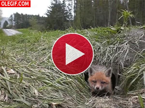 Un pequeño zorro saliendo de su guarida