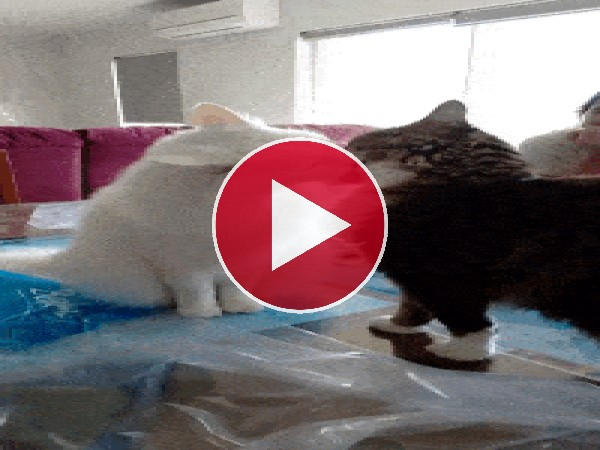GIF: Estos gatos se quieren y se odian
