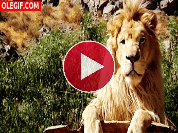GIF: A este león le ha gustado la comida