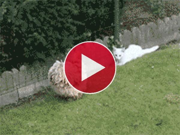 Mira a este gato peleando con la gallina