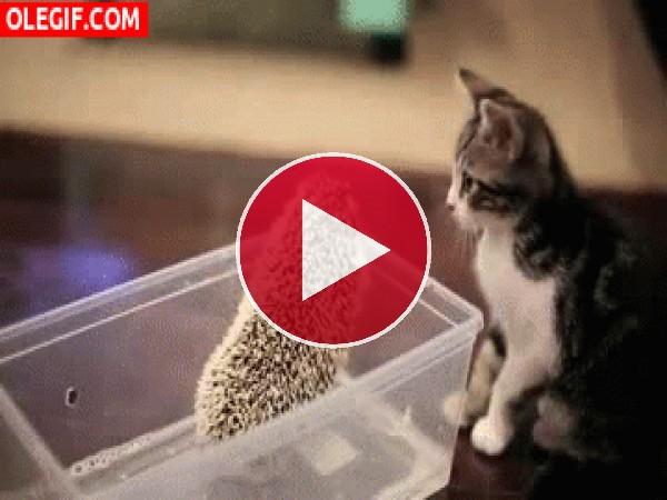 GIF: Este gatito se pinchó el hocico con las púas del erizo