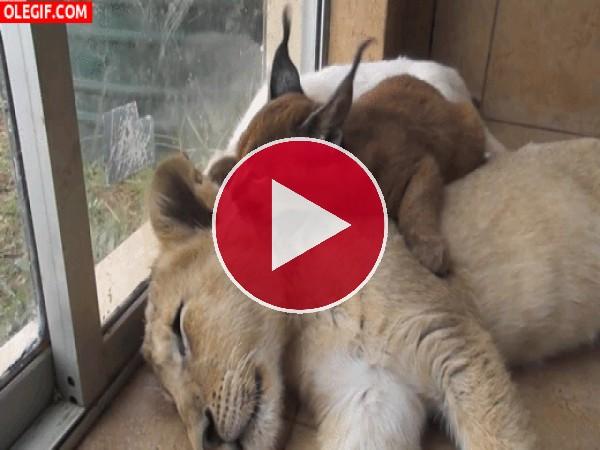 Lince lamiendo a un cachorro de león