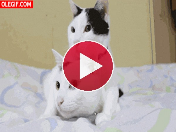 GIF: Dos gatos muy sincronizados