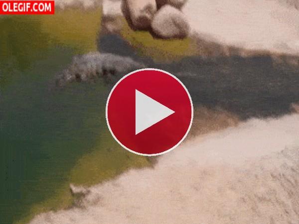 GIF: Este cocodrilo se lo pasa pipa bajando por el tobogán