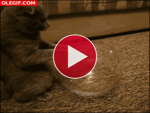 A este gato le gusta meterse en la pecera