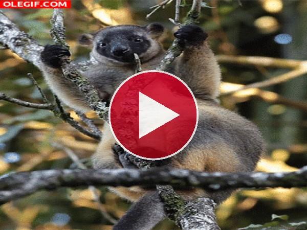GIF: Canguro de árbol masticando (Dendrolagus lumholtzi)