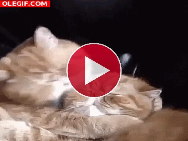 A este gato le encanta lamer a su amigo