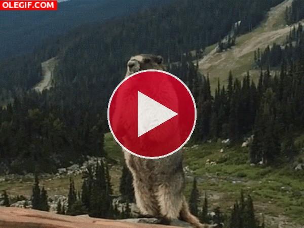 GIF: El grito de la marmota