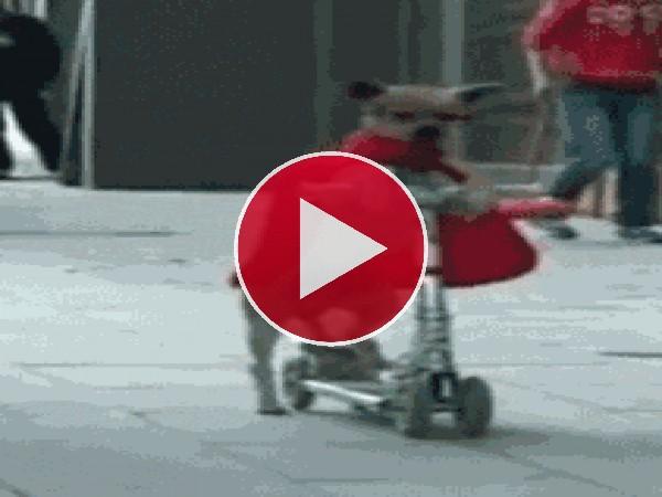 Un super perro montando en patinete