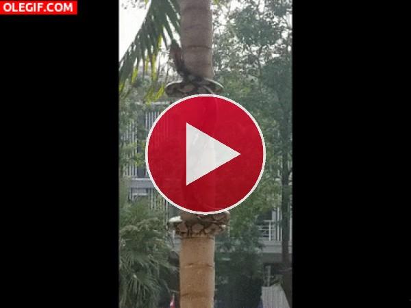 Mira a esta serpiente enroscándose en la palmera