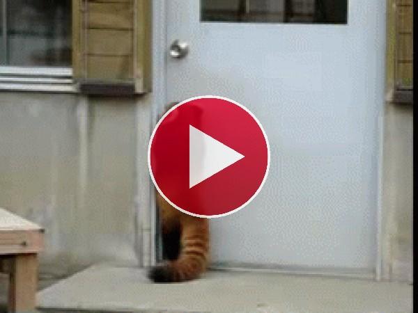 Este panda rojo da saltitos para abrir la puerta