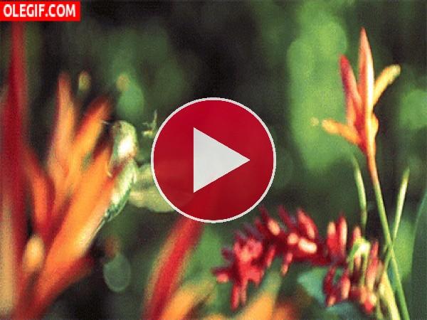 Un colibrí girando