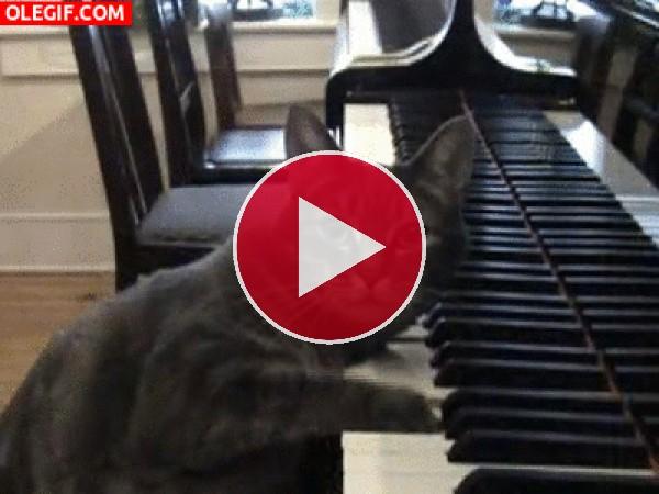 GIF: Un gato pianista