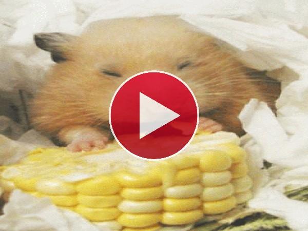 A este hámster le gusta el maíz