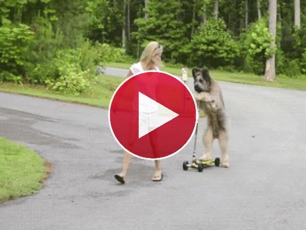 A este perro le gusta montar en patinete