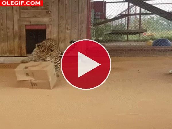 Mira a este leopardo jugando con una caja
