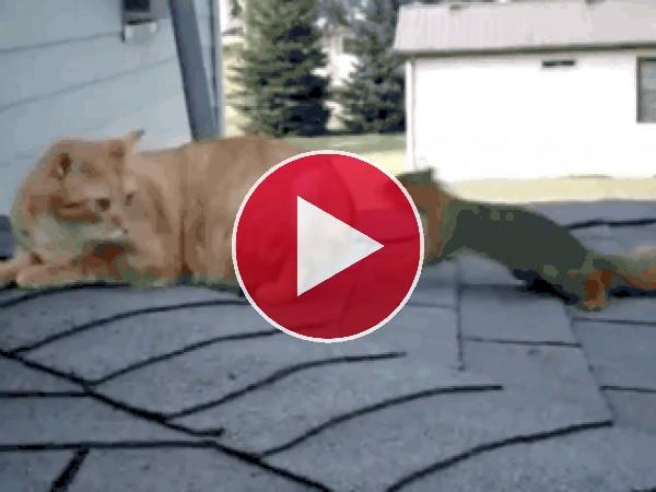GIF: Mira a esta ardilla jugando con el gato
