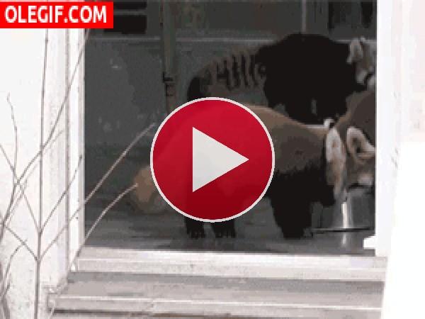 GIF: Vaya susto se pega el pequeño panda rojo