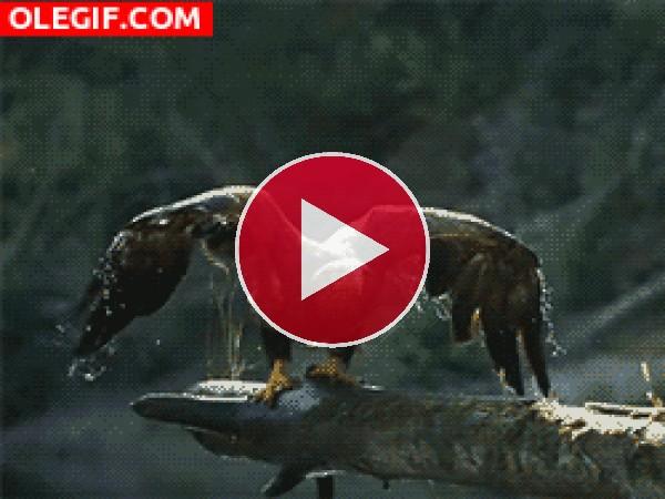 GIF: Águila alzando el vuelo