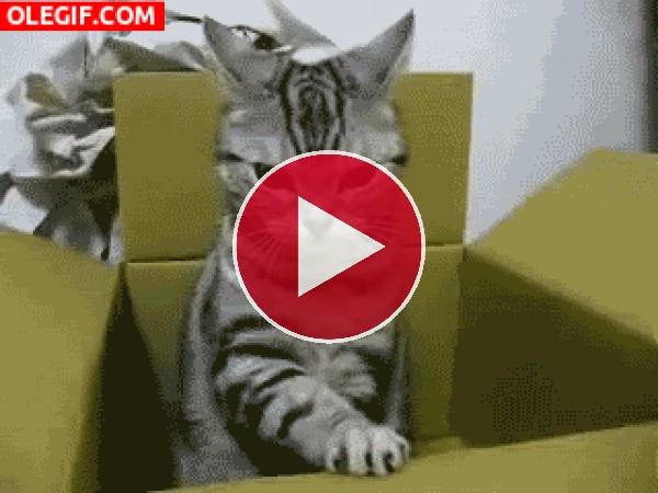 GIF: ¿Por qué a los gatos les gusta jugar con cajas?