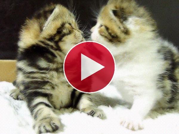 GIF: Gatitos dándose besitos