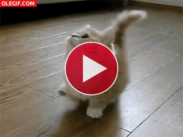 GIF: Un gatito bailarín