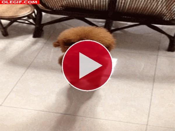 El baile de un cachorro peludo