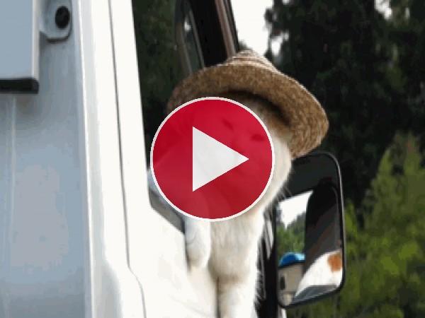 GIF: Este gato se va de paseo con su sombrero