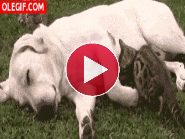 Mira a este gato buscando el abrazo del perro
