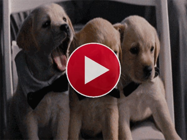 Mira a estos cachorros bostezando