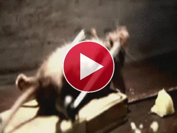 GIF: ¡Que listo es este ratón!