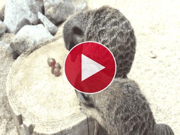 Estos suricatas son unos golosos