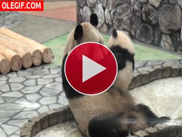 Mira al bebé panda besando a su mamá