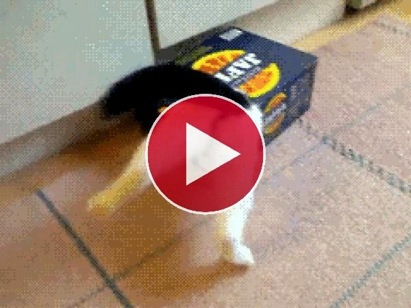 GIF: Este gato no puede salir de la caja