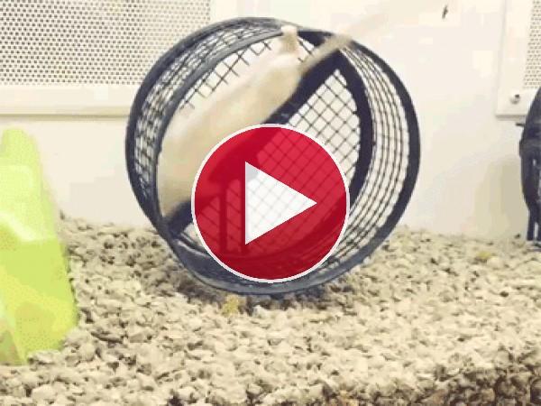 GIF: Este ratón se ha vuelto loco