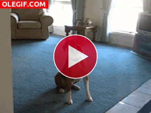 Este perro se vuelve loco por salir a pasear