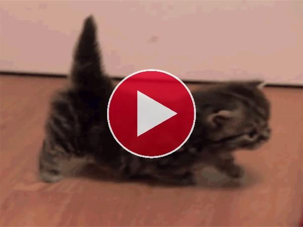 GIF: Mira cómo camina este gatito