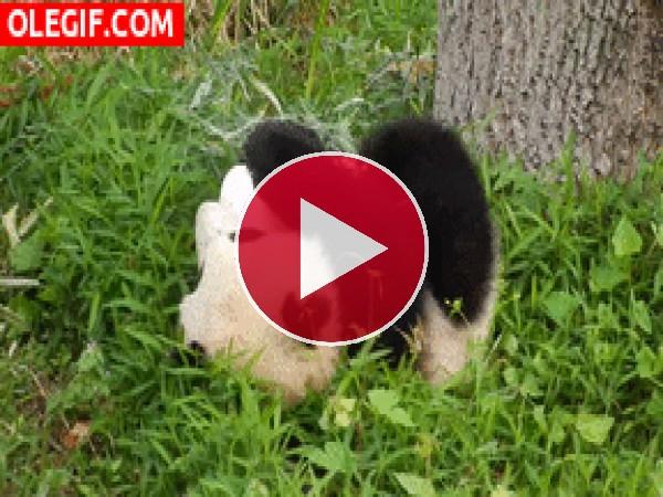 Mira a este panda rodar por la hierba