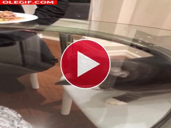 GIF: Este gato busca la comida como loco