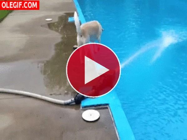 Mira cómo cae este perro a la piscina