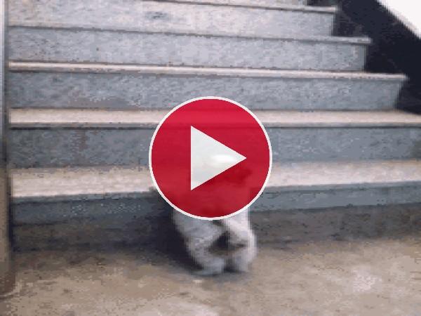 Este cachorro no puede subir el escalón