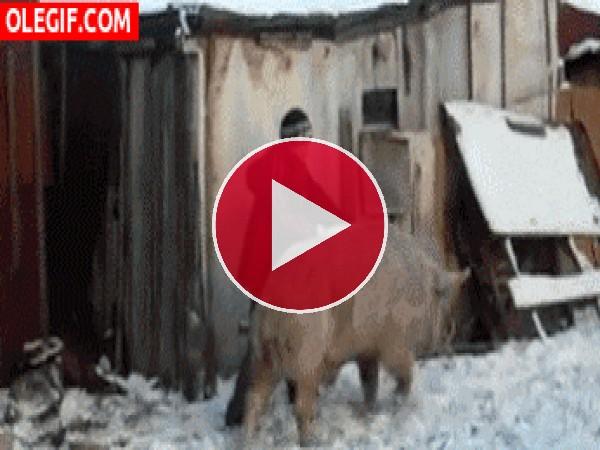 De paseo con su cerdo