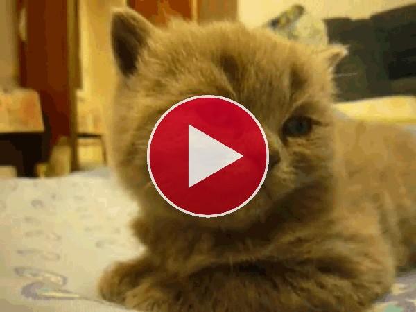 GIF: Este gato se cae de sueño